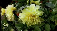 Stock Video Footage of yellow dahlia