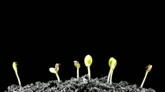 Water Melons sprouting out of the dead ground (timelapse) Stock Footage