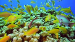 Beautiful Reef +gold fish 2 - stock footage