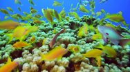 Beautiful Reef +gold fish 2 Stock Footage