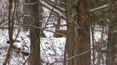 Mammoth Cave Deer Locked Down Stock Footage