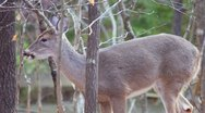 Whitetail Deer Doe Stock Footage