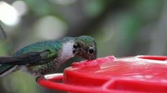 Hungry Hummingbird Stock Footage