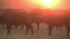 4. Bufalo herd at sunset Stock Footage