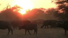 10. Bufalo herd at sunset Stock Footage