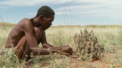 Kalahari bushman cutting hoodia plant side view Stock Footage