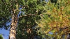 Coniferous wood Stock Footage