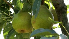 Pears grow on tree Stock Footage
