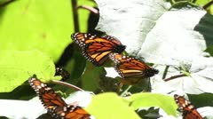 Monarch butterfly sanctuary mexico Stock Footage