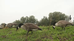 Geese Feeding in Wet Grass HD File Stock Footage