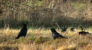 Stock Video Footage of crows