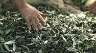 Stock Video Footage of Farmers choosing olives to produce olive oil