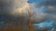 Stock Video Footage of crows in flight