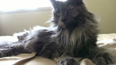Gray cat laying in sunlight on bed Stock Footage