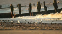 Gulls on a Windy Beach HD File Stock Footage