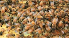 Bees - stock footage