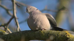 Eurasian collared dove, Streptopelia decaocto, looking around Stock Footage