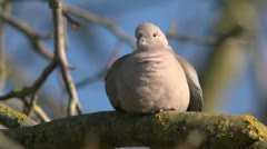 Eurasian collared dove, Streptopelia decaocto, on a branch. Stock Footage