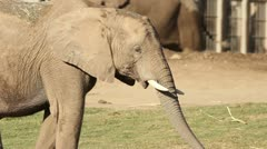 Baby African Elephant Stock Footage