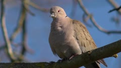 Eurasian collared dove, Streptopelia decaocto, calling + audio Stock Footage