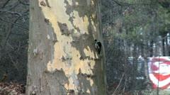 Woodpecker on a tree Stock Footage