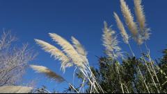 Fountain Grass Stock Footage