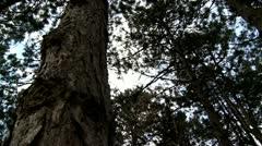 pine tree, bark - stock footage