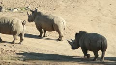 Stock Video Footage of Rhinos Walking
