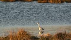 Stock Video Footage of Grey Heron