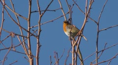 Robin singing in a tree, with audio. Stock Footage