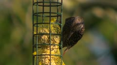 A starling eating fat balls at a garden feeder Stock Footage