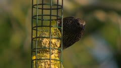 A starling eating fat balls at a garden feeder 2 Stock Footage
