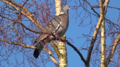 A wood pigeon on a branch and taking off. Stock Footage