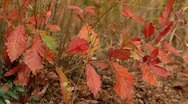 Autumn falling leaves. Stock Footage