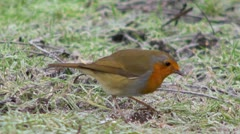 A robin searching for food on a frosty morning Stock Footage