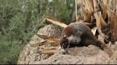 Coati Eats Stock Footage