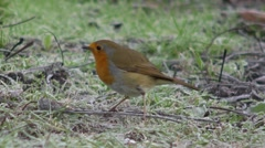 A robin searching for food on a frosty morning 2 Stock Footage