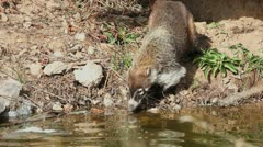 Coati Sniffs Stream Stock Footage