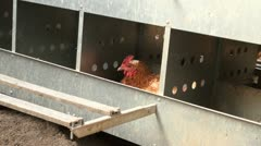 Chickens in a brooder house - stock footage