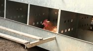 Chickens in a brooder house Stock Footage