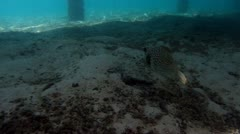 Whitespotted pufferfish 01 Stock Footage