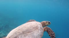 Green sea turtle 02 - stock footage
