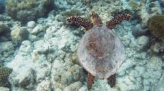 Green sea turtle 06 - stock footage