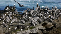 Pacific Pelican Colony Rock (HD) Stock Footage