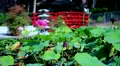 Lotus Flower in Japanese Garden 01 HD HD Footage