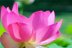 Lotus Flower Slow Motion 01 Pink 60fps SD Stock Footage