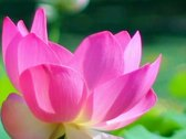 Stock Video Footage of Lotus Flower Slow Motion 01 Pink 60fps SD