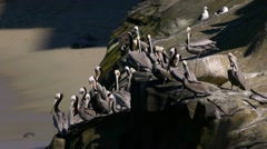 Brown Pelican Colony on Cliff (HD) Stock Footage