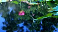 Lotus Flower Reflections on Water 03 Slow Motion 60fps SD Wide Stock Footage