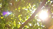 Tree Sunlight 01 Slow Motion 60fps SD Wide Stock Footage